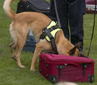 Spürhund des Zoll im Einsatz gegen Drogen