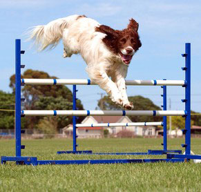 Entscheidend bei Agility ist vor allem die Geschicklichkeit des Hundes.
