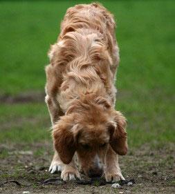 Mantraling bedeutet, dass sich der Hund auf die Gerüche, die einer Person zugeordnet werden, konzentrieren muss.