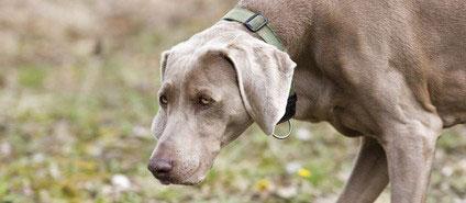 Der Weimaraner besitzt eine sehr feine Nase und sit faher auch für den Hundesport Mantrailing gut geeignet.