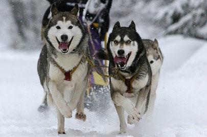 Schlittenhunde schaffen Distanzen von 200 KM in 24 Stunden.