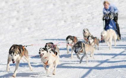 Beim Schlittenhunderenn werden Leader, Wheeler und Swinger eingesetzt.