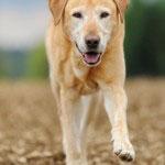 Labradore haben eine hohe Eignung als Spürhunde