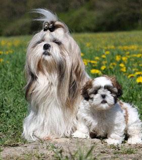 Von wo einen Shih Tzu kaufen? Tiere, Hund, Tierheim