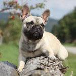 Französische_Bulldogge_Rasse1