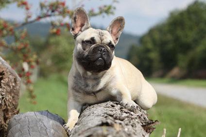 Französische_Bulldogge_Hunderasse 1