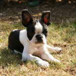 Boston_Terrier_Rasse_1