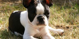 Boston_Terrier_1