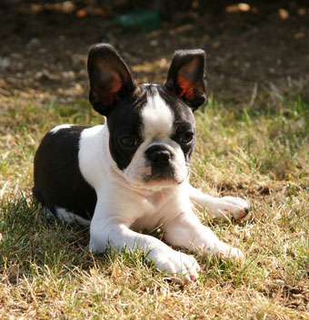 Boston_Terrier_Hunderasse _1