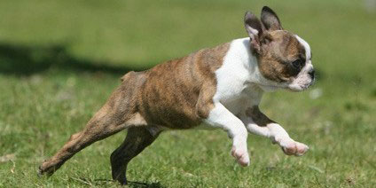 Boston_Terrier_Hunderasse _2
