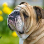Englische_Bulldogge_Rasse1