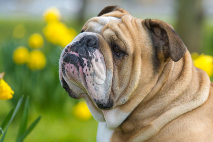 Englische_Bulldogge_Hunderasse 1