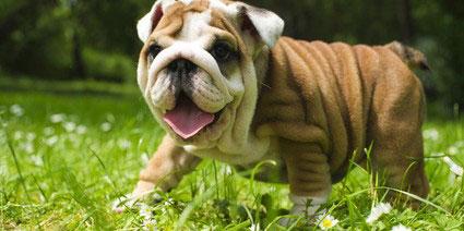 Englische_Bulldogge2