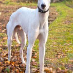 Greyhound_Rasse_1