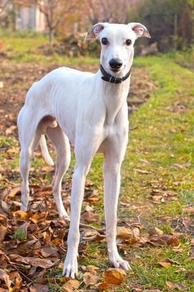 Greyhound_Hunderasse _1