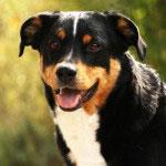 Der Appenzeller Sennenhund zeichnet sich durch eine hohe Intelligenz