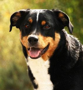 Selbst im Kanton Appenzell und der Schweiz ist der Appenzeller Sennenhund eher selten anzutreffen