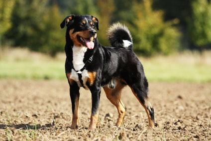 Seinem Herrchen gegenüber zeichnet sich der Appenzeller Sennenhund als treu und lernwillig aus