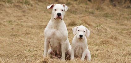 Dogo Argentino mit treuem aber auch hartnäckigem Wesen