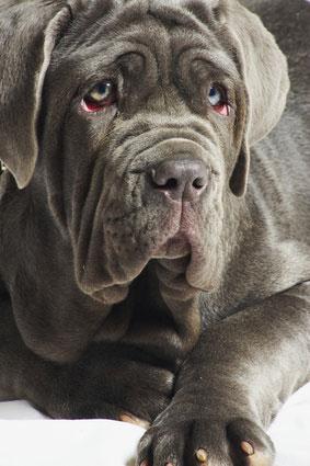 Mastino kampfhund