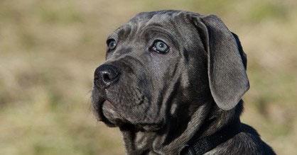 Der Mastino Napoletano braucht eine konsequente Hundeerziehung