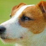 Der Parson Russell Terrier ist ein guter Jagdhund.