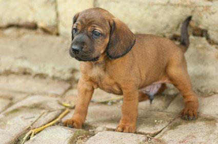 Der Bloodhound hat einen sensiblen, aber auch zuweilen eigenwilligen Charakter.