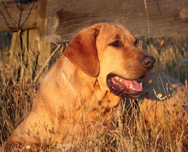 Broholmer sind eine Krezung aus englischen und dänischen Hunden