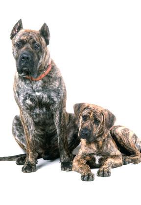 Ein Dogo Canario ist kein Anfängerhund und braucht eine konsequnete Hundeerziehung.
