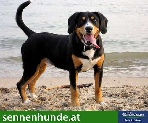 Der Entlebucher Sennenhund braucht eine konsequente Hundeerziehung