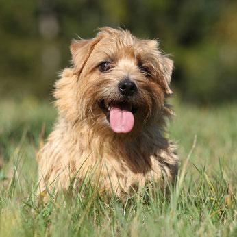 Bis 1964 waren Norfolk und Norwich Terrier eine Hunderasse .