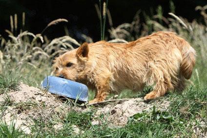 Der Norfolk Terrier ist auch als Familienhund gut geeignet.