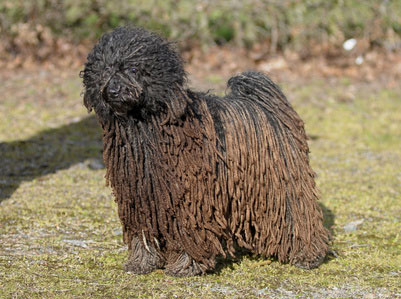 The Shaggy Dog Breed