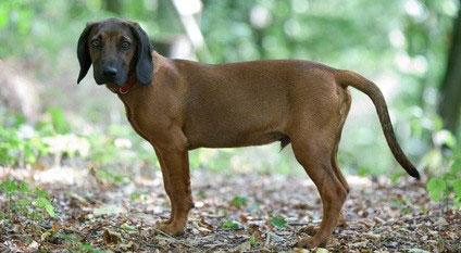 Der Bayerische Gebirgsschweißhund fühlt sich insbesondere im Gebirge wohl.