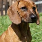 Bayerischer Gebirgsschweißhund