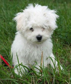Der Bologneser war bereits während der Renaissance ein beliebter Schoßhund