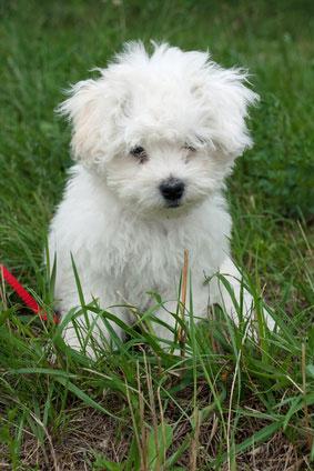 Brioche Dog Breed
