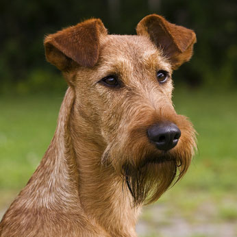 Der Irish Terrier wurde erstmals um 1870 im südirischen Cork gezüchtet.