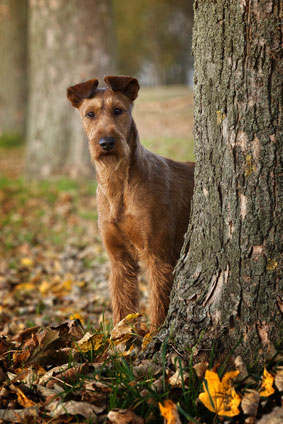 """Der Irish Terrier hat gegenüber seinem """"Rudelführer"""" einen absolut loyalen Charakter."""