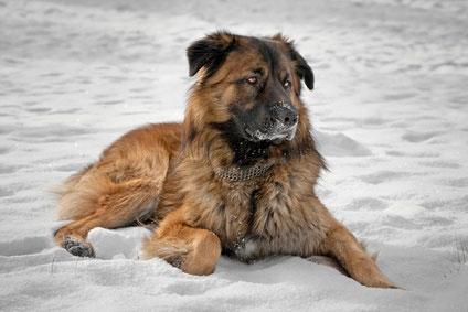 """Der """"Russische Schäferhund"""" gehört in erfahrene Hände."""