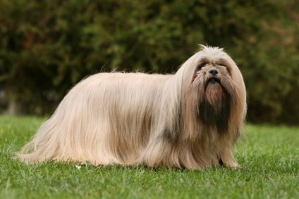 Lhasa Apso Dog Breed Info