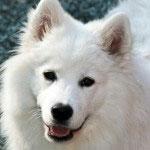 Der Samojede ist ein großer Ausdauerläufer unter den Hunderassen