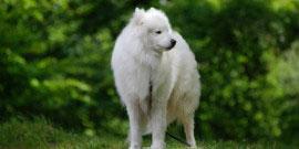Der Samojede hat einen friedlichen Charkater und ist ein guter Familienhund.