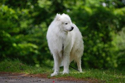 Samojeden sind als Wachhunde weniger geeignet