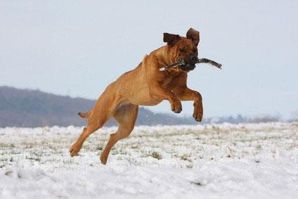 Der Tosa Inu ist kein Anfängerhund.