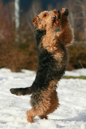 Auch der Welsh Terrier zeichnet sich wie andere Terrier auch, durch einen mutigen Charakter aus.