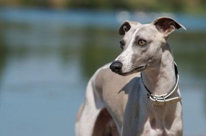 Whippet Hunde wurden auch bei Windhundrennen eingesetzt.