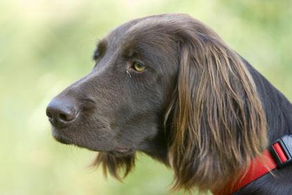 """Der Deutsch Langhaar ist ein hervorragender """"Stöberhund"""""""