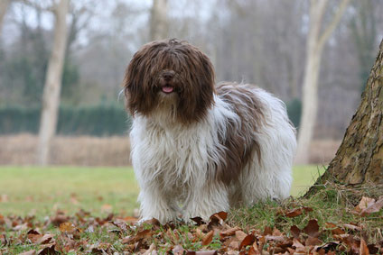 Schapendoes Hunde kommen urspünglich aus Holland.