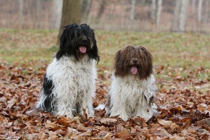 Als Schutz- oder Wachhund ist der Schapendoes weniger geeignet.